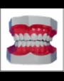 Anatomy model - teeth