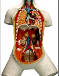 Anatomy model - human body - open