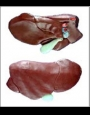 Anatomy model - cow liver