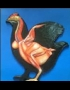 Anatomy model - chicken female muscle