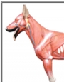 Anatomy model - dog muscle