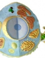 Anatomy model - animal cell