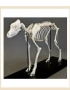 Skeleton Dog skeleton - large