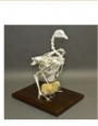 Skeleton Chicken skeleton