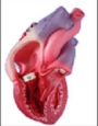Anatomy model - human heart